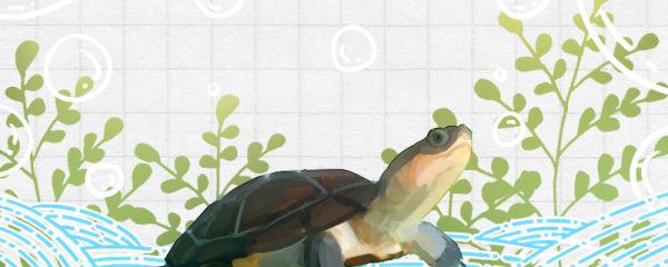 沼泽侧颈龟好养吗,怎么养