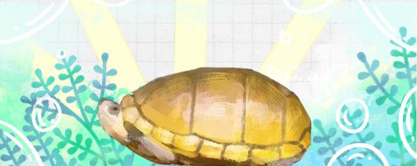 阿拉莫泥龟好养吗,怎么养