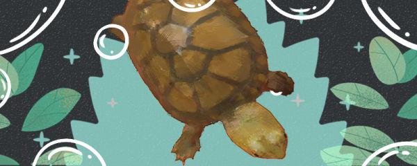 瓦哈卡泥龟好养吗,怎么养