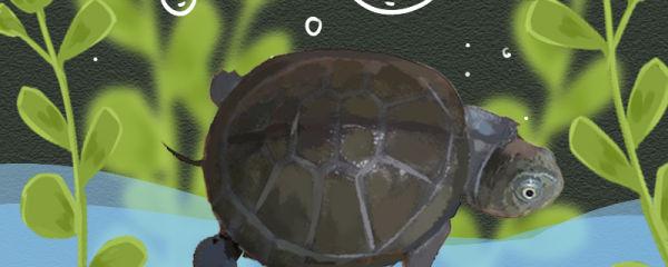 西非侧颈盒龟好养吗,怎么养