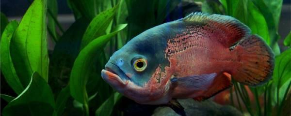 地图鱼的水温多少度好,最低温度是多少