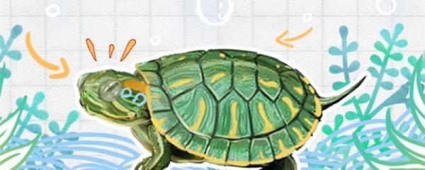 巴西红耳龟是水龟吗,可以干养吗