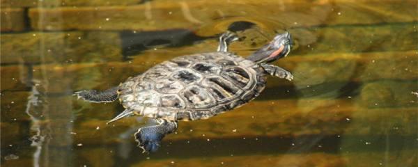 巴西红耳龟能活多少年,多大算成年