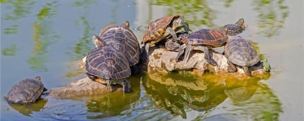 巴西红耳龟能长多大,多大能繁殖