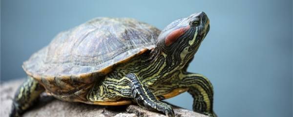 巴西红耳龟什么时候冬眠结束,冬眠时要放沙子吗