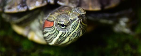 巴西红耳龟什么时候下蛋,一次下几个蛋