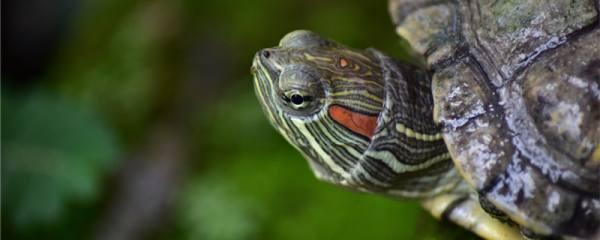 巴西红耳龟为什么不吃东西,不吃东西怎么办