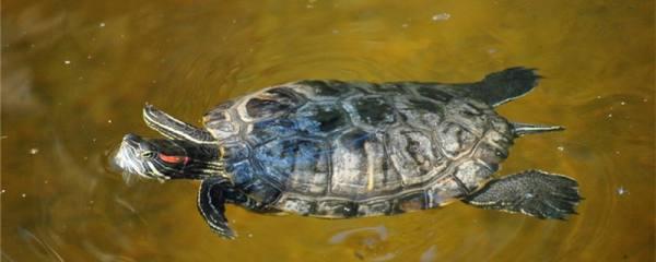 巴西红耳龟怎么分雌雄,雌雄能一起养吗