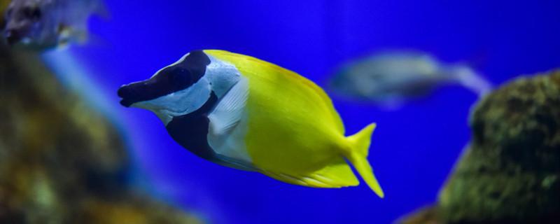 母鱼产卵需不需要公鱼,母鱼产卵怎么办