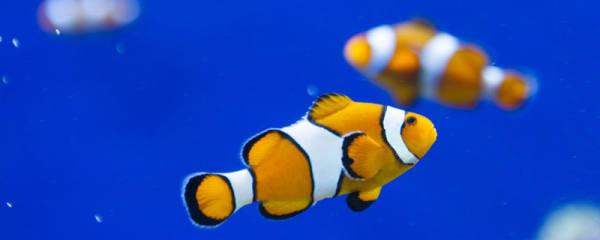 母鱼生小鱼会不会吃掉,母鱼怎么繁殖