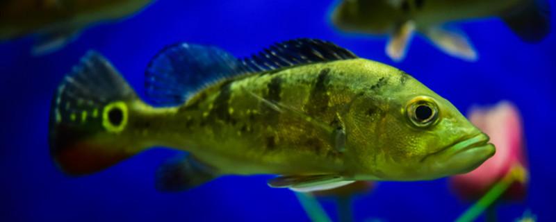 刚生完小鱼的母鱼怎么办,小鱼怎么养