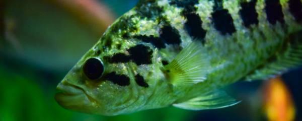 鱼分雌雄吗,哪些鱼可以变性