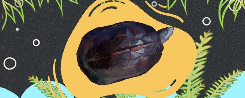 缅甸黑山龟冬眠吗,什么时候冬眠