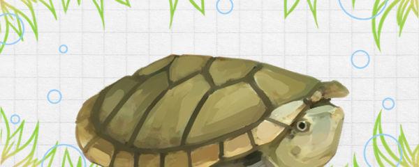 哈雷拉泥龟好养吗,怎么养