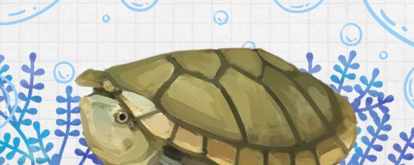 哈雷拉泥龟能冬眠吗,什么时候冬眠
