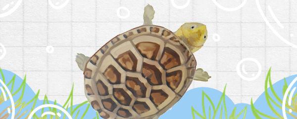 白唇泥龟能冬眠吗,什么时候冬眠