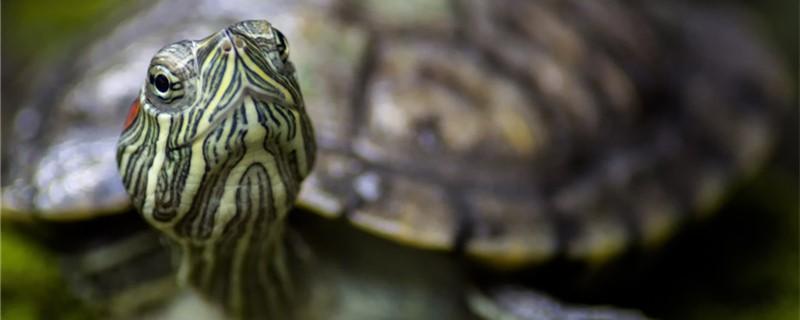 巴西红耳龟是深水龟吗,水深多少合适