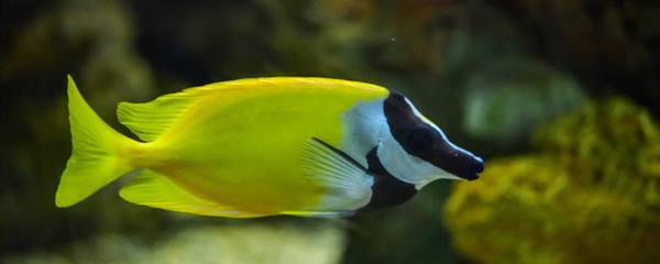 鱼能认主人吗,什么鱼认主人