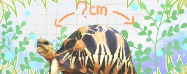 辐射陆龟能长多大,能活多少年