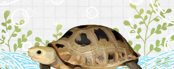 缅甸陆龟吃什么,多久喂一次