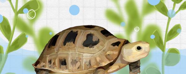 缅甸陆龟好养吗,怎么养好