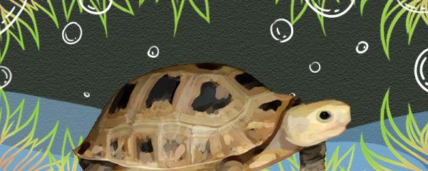 缅甸陆龟能活多久,多大才能下蛋