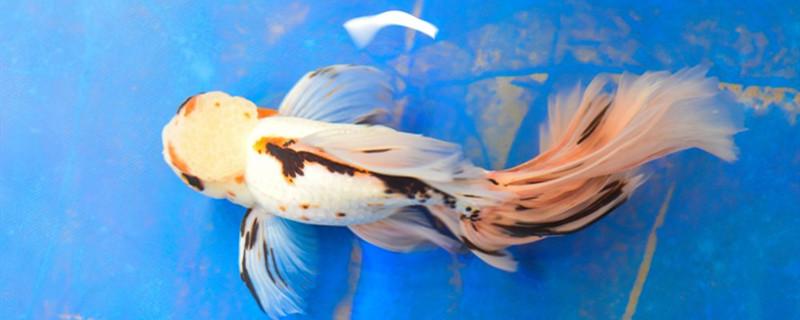 金鱼开心的表现是什么样,金鱼不舒服有什么表现