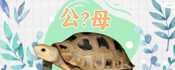 缅甸陆龟怎么分辨公母,公母能一起养吗