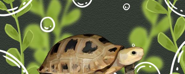 缅甸陆龟怎么养,需要饲养箱吗