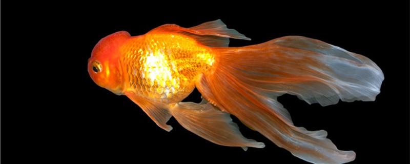 金鱼能听懂主人说话吗,金鱼怎么认主