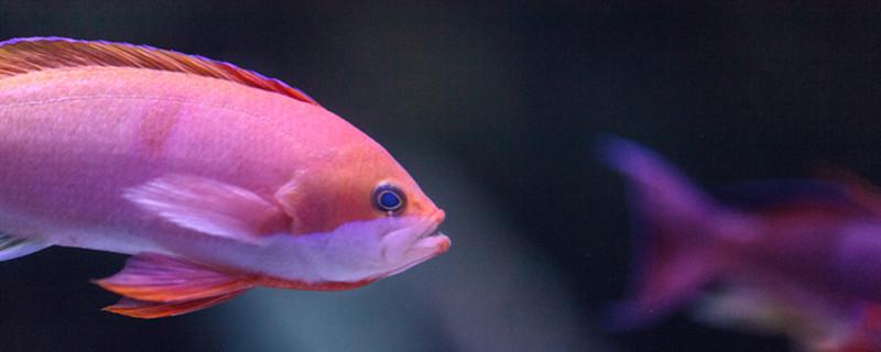 鱼塘的鱼烂鱼鳞怎么治疗,鱼鳞烂了是什么病