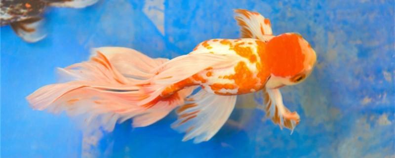 金鱼的繁殖方法是什么,亲鱼如何选择
