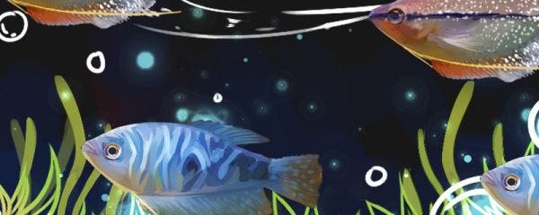 蓝曼龙能和什么鱼混养,能和孔雀鱼混养吗