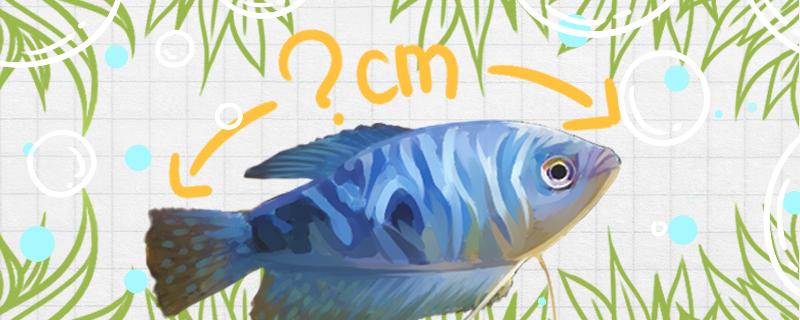 蓝曼龙鱼能长多大,能活多久