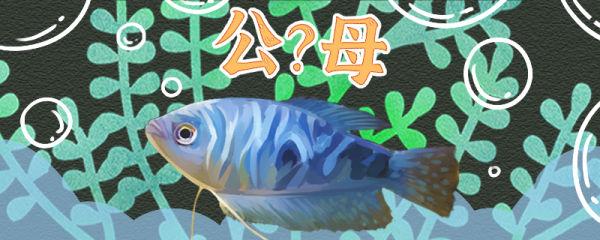 蓝曼龙鱼怎么分公母,公母能一起养吗