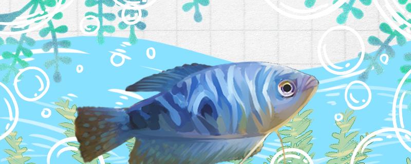 蓝曼龙怎么繁殖,繁殖时吃小鱼吗