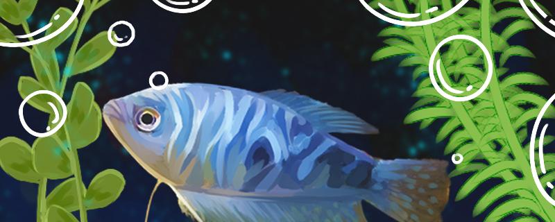 蓝星鱼的繁殖方法和繁殖技巧