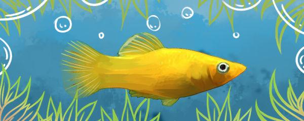 金玛丽鱼生小鱼有什么前兆,多久生一次小鱼