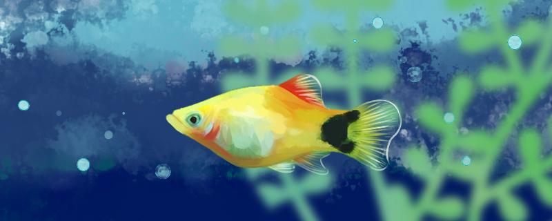 三色玛丽鱼好养吗,怎么养