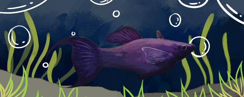燕尾玛丽鱼好养吗,怎么养