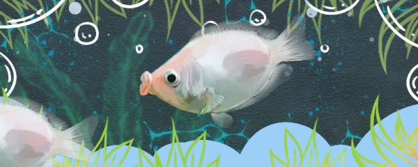 接吻鱼为什么不吃饲料,不吃饲料怎么处理