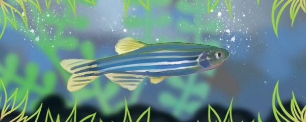 蓝斑马鱼好养吗,怎么养