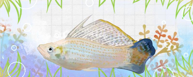 珍珠玛丽鱼好养吗,怎么养