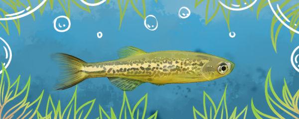 豹纹斑马鱼好养吗,怎么养