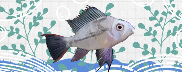 玻利维亚凤凰鱼怎么繁殖,多大能繁殖