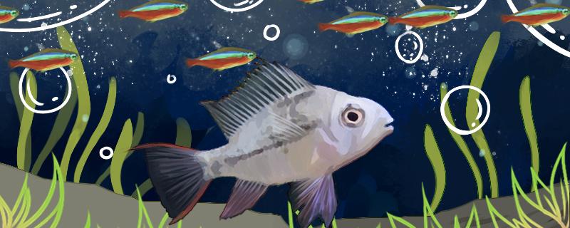 玻利维亚凤凰鱼能和什么混养,能和迷你鹦鹉鱼混养吗