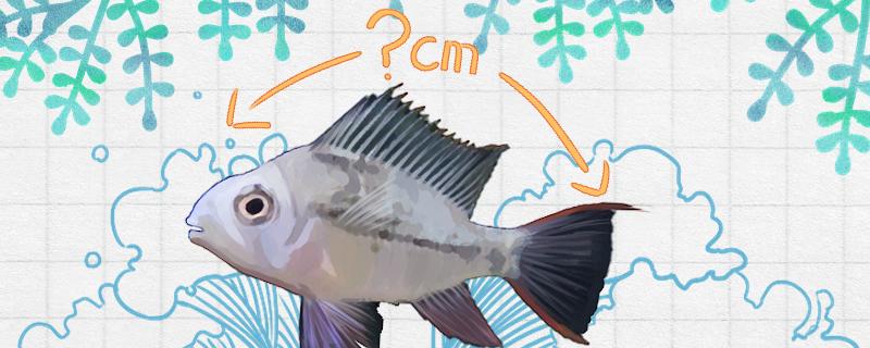 玻利维亚凤凰鱼能长多大,能活多久