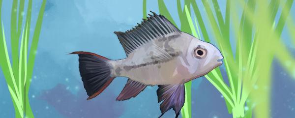 玻利维亚凤凰鱼好养吗,怎么养