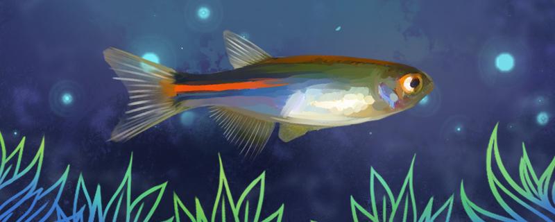 电光斑马鱼好养吗,怎么养