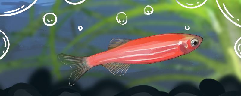 红斑马鱼能长多大,能活多久